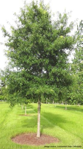 oak willow